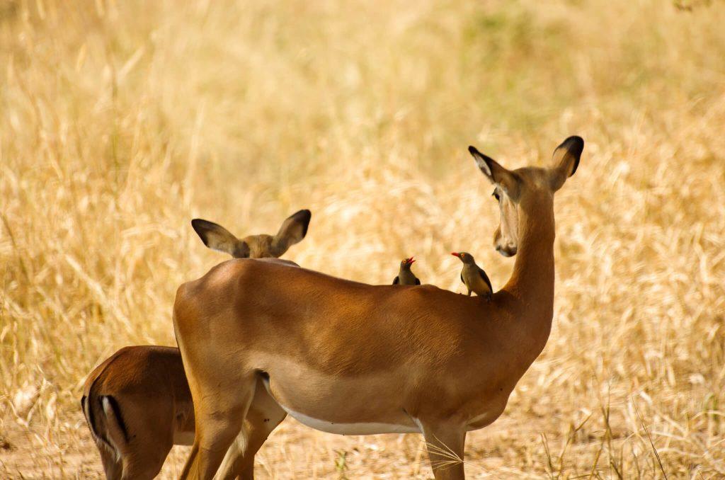 Tarangire gazelles