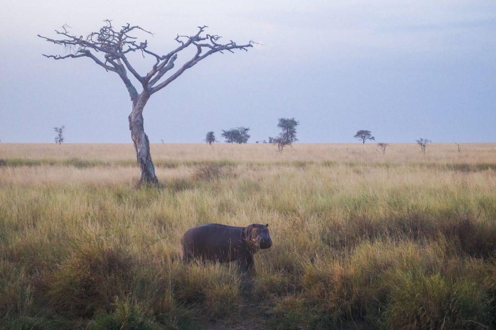 nijlpaard serengeti