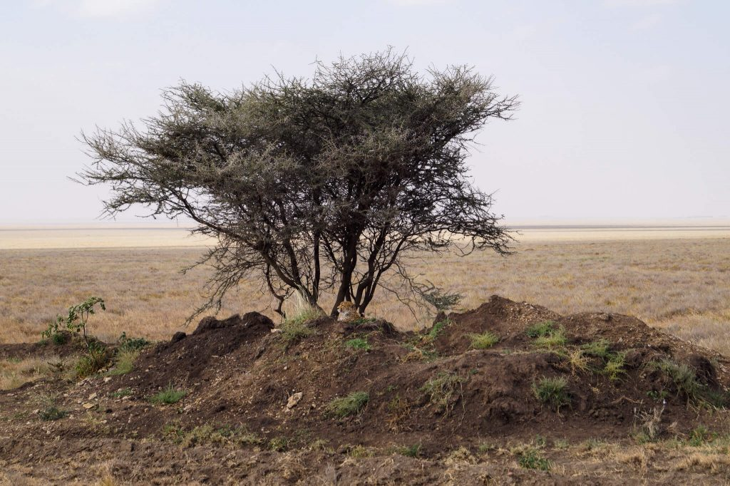 jachtluipaard serengeti