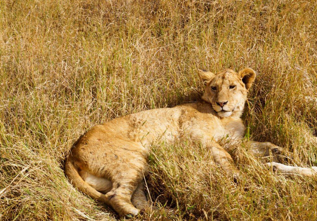 leeuw ngorongoro