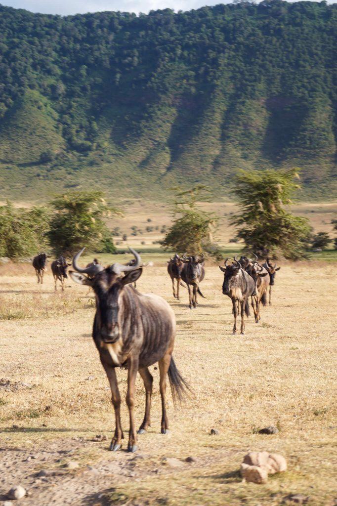 gnoes tanzania