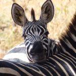 ngorongoro safari