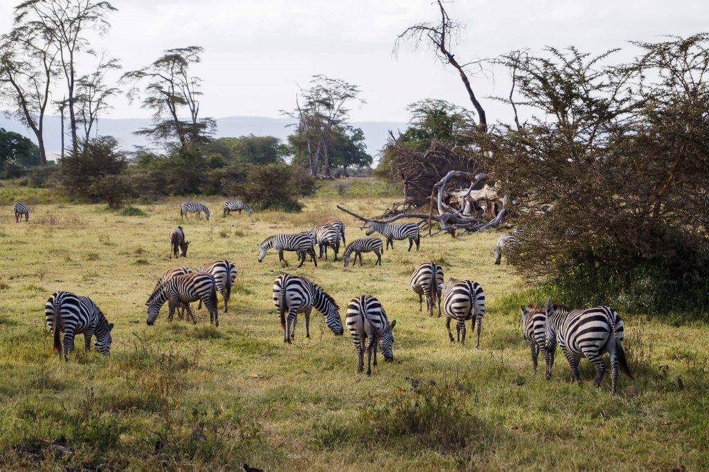 zebra's tanzania