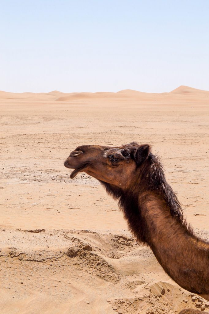 dromedaris Abu Dhabi