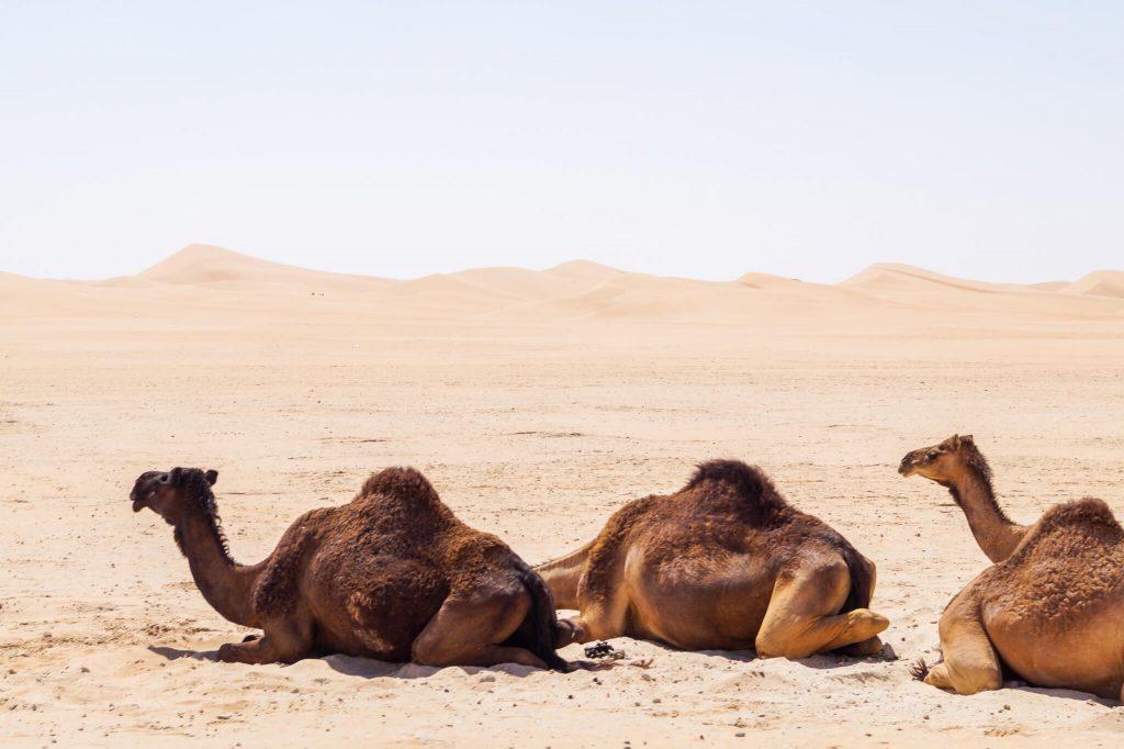 Dromedaris woestijn