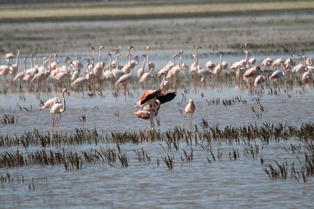 flamingo Donana