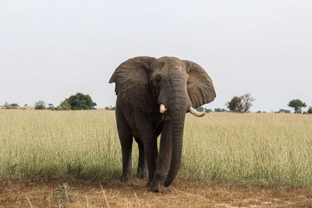 Olifant Oeganda Safari