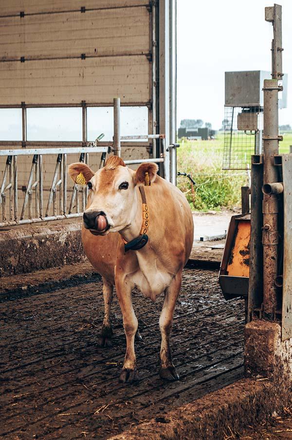 Jersey koeien volendam